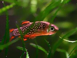 Aquarium 40l fische for Aquarium fische arten