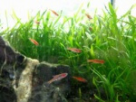 Nano Aquarium mit Moskitobärblingen Foto